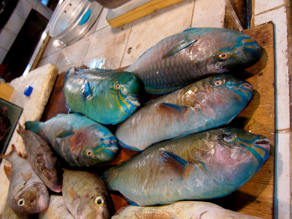 Image gallery loro fish for Rainbow parrot fish