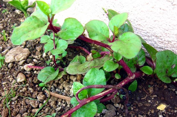 alugbati plant