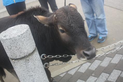 buffalo in ngong ping