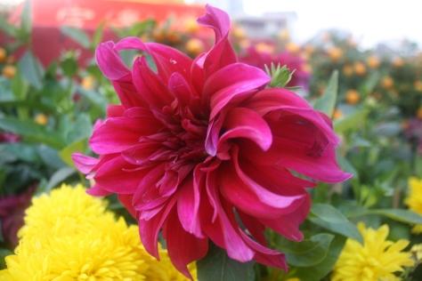Macau-flower